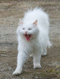 White fluffy cat Royalty Free Stock Photos