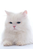 White fluffy cat Stock Images