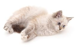 White fluffy cat. Royalty Free Stock Photo
