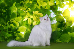 White fluffy cat on a background of spring leaves Royalty Free Stock Photos