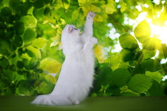 White fluffy cat on a background of spring leaves Royalty Free Stock Photo