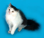 White fluffy cat with black spots sitting on blue Stock Photography