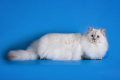 White fluffy cat on a blue background isolated Royalty Free Stock Photography