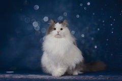 White fluffy cat on blue blurred background Royalty Free Stock Photos