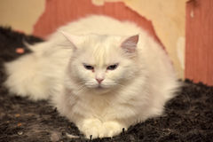 White fluffy cat Royalty Free Stock Images