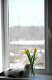 White fluffy cat and bouquet of flowers yellow tulips in a glass vase on a windowsill Stock Photography