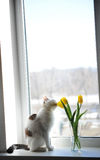 White fluffy cat and bouquet of flowers yellow tulips in a glass vase on a windowsill Royalty Free Stock Image