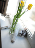 White fluffy cat and bouquet of flowers yellow tulips in a glass vase on a windowsill Royalty Free Stock Images