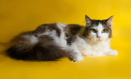 White fluffy cat with gray spots lying on yellow Stock Images