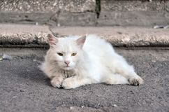 A white fluffy cat with green eyes lies on the ground near the steps Royalty Free Stock Image