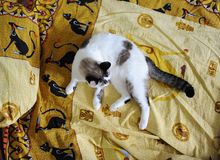 White fluffy cat lies on the bed, on bed linen with a print of Egyptian cats. White fluffy cat lies on the bed, on bed linen with print of Egyptian cats stock photo