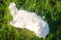 White fluffy cat lies on the grass. Belly up Stock Photography