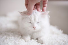 White fluffy cat lying on the white coach Royalty Free Stock Photography