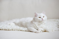 White fluffy cat lying on the white coach Royalty Free Stock Photos