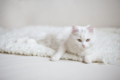 White fluffy cat lying on the white coach Royalty Free Stock Photo