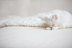 White fluffy cat lying on the white coach Stock Photos