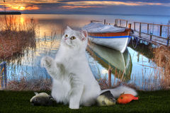 White fluffy cat in the morning fishing at the lake Stock Image