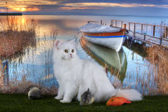 White fluffy cat in the morning fishing at the lake Royalty Free Stock Images