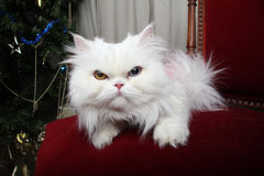 White fluffy cat sits by the Christmas tree on a red velvet Stock Photography