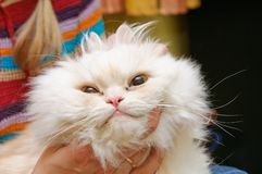 White fluffy cat with widely open eyes Royalty Free Stock Photo