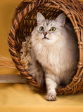 White fluffy cat on yellow  background Royalty Free Stock Photos