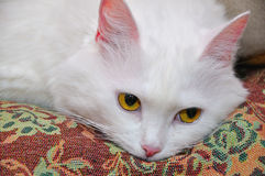 White fluffy cat Stock Photos