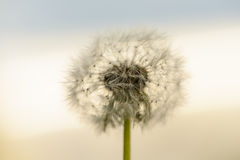 White fluffy dandelion Royalty Free Stock Photo