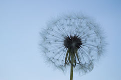 White fluffy dandelion on a background of blue sky stock images