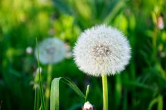 White fluffy dandelion. On a background of green grass in the afternoon in summer stock photography