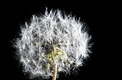 White fluffy dandelion on a black background isolated, close-up.  stock images