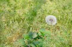 White fluffy dandelion on blurred grass background stock images