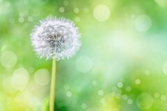 White fluffy dandelion on a blurry green background, flower background design. blank for design