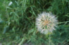 White and fluffy Dandelion on the defocused background Stock Images