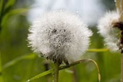 White fluffy dandelion with dew drops close-up in nature. Forest royalty free stock photo