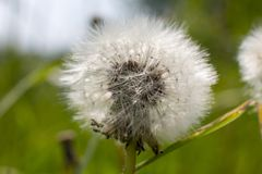 White fluffy dandelion with dew drops close-up in nature. Forest stock photos