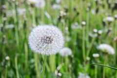 White fluffy dandelion on the field with flowers royalty free stock image