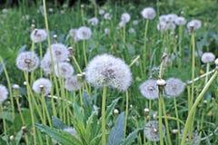 White fluffy dandelion flower Stock Photos