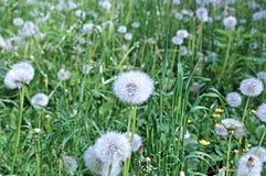 White fluffy dandelion flower Royalty Free Stock Photography