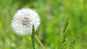 White Fluffy Dandelion. In the Grass Sways in the Light Breez stock video footage