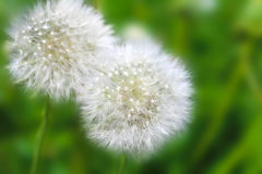 White fluffy dandelion Royalty Free Stock Image