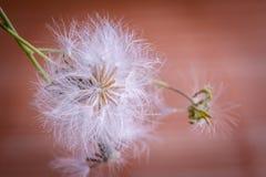 White fluffy dandelion Royalty Free Stock Images