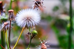 White fluffy dandelion with a green stalk on a blurred backgroun Stock Photos