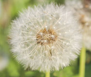 White fluffy dandelion Stock Photos