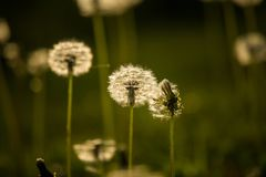 White, fluffy dandelion heads in the late spring. Flower seeds soon flying away royalty free stock photos