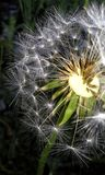 Macro dandelion royalty free stock images
