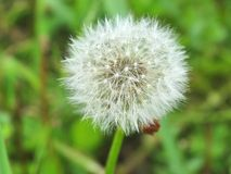 White fluffy dandelion Stock Image