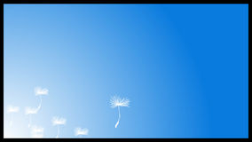 White fluffy dandelion seeds flying in the sky stock video footage