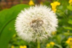 White fluffy dandelion Stock Photo