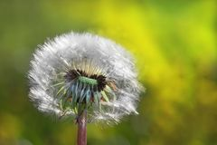 White Dandelion in the meadow Royalty Free Stock Photography