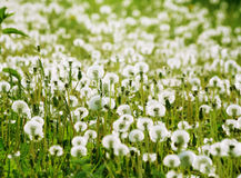 White fluffy dandelions on a green meadow Royalty Free Stock Photography